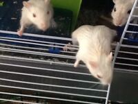 5 White gerbils and 2 light grey gerbils for sale