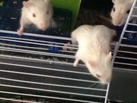 5 White gerbils and 2 light grey gerbils for sale