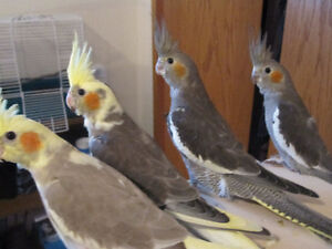 Cockatiel babies for sale
