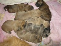 Cairn Terrier Mixed Breed Babies