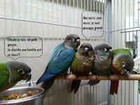 BB conure a joues vertes split yellowside turquoise