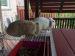 Two Holland lop bunnies & cage only $80