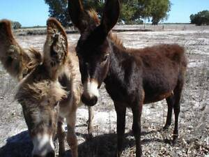 Young Donkeys........2 young Very quiet and friendly Jacks 4sale Gingin Gingin Area Preview
