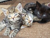 Half Bengal kittens looking for new home