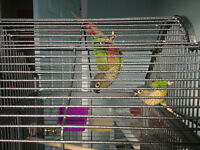 Talking conures (one year old. ) breaders