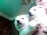 Two Gorgeous Eight Weeks Old, Snow White Akita Inu Pups