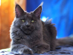 Maine Coon Breeder | Adopt Cats & Kittens Locally in Ontario