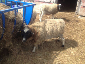 Ten Dorper Cross Ewes for sale