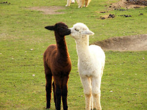 Canadian Alpaca Products Alpacas For Sale & Business Opportunity