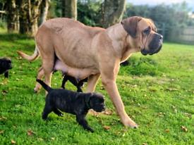 Stunning Mastiff Puppies