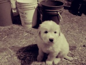 Newfoundland X Great Pyrenees Puppies for sale