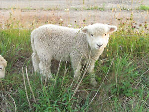 Ewe and lamb pairs for sale