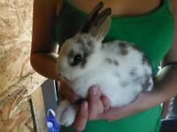 Holland Lop/Lion Head Bunnies 8 weeks old **Price Reduced**