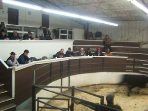 Bred Cow/ Cow /Calf Replacement Heifer Sale