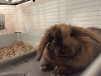 4 month holland lop for sale!!
