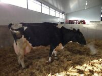 Holstein nurse cows