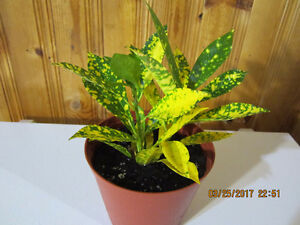 Speckled Croton Plant