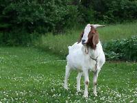 Boer Billy Goat !