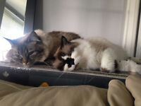 two ragdoll cats free to good home
