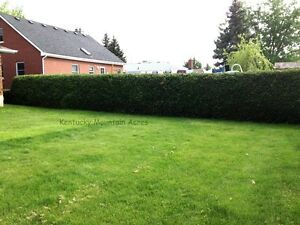 Cedar Hedge Trees For Privacy - Farm Fresh Oakville / Halton Region Toronto (GTA) image 2