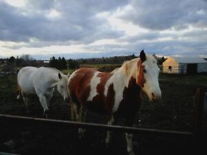 9 year old paint/clyde cross mare
