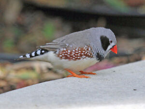 zebra finches- young adults- three colour variations!