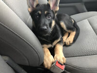 Purebred German Sheppard Puppies for sale