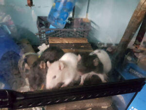 3 Female fancy rats for sale