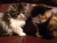 Persian Kittens , Male and Female available