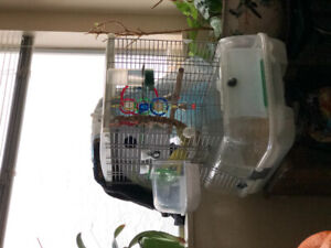 Proven pair of yellow parrotlets