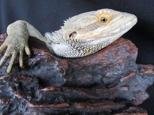 .Dragon barbu Leatherback red italien belgium /bearded dragon
