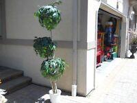 Silk leaf tree, like new