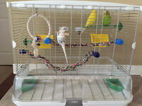 3 Budgies For Sale with All Items Included