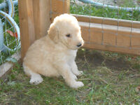 Adorable Goldendoodle puppies for Sale to loving, caring homes.