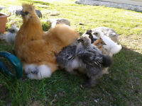 Silkie chickens / Poulets Soie