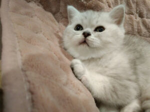 British shorthair boys ready for newhome,