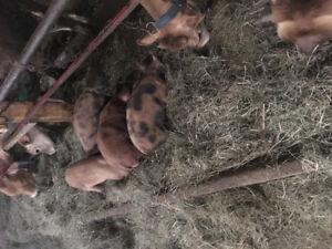 Pigs piglets bore hog market