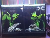 Love fish betta duo 20l only set up 1 week with 2 platinum white betta