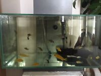 Baby livingstonii and yellow lab cichlids