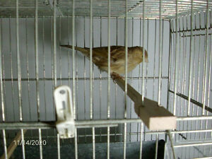male brownish cinnamon timbrado canary 8 mts old