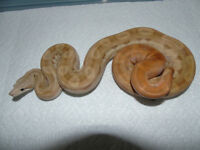 Pair of motley boas