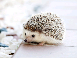 Looking for hedgehog with enclosure!