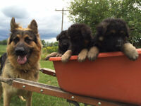 German Shepherd Puppies for sale *Parents on site*