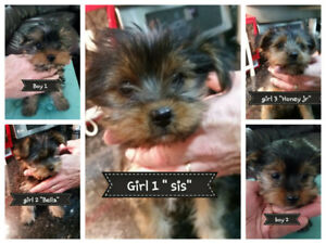 Purebred Yorshire Terriers 3 females 2males