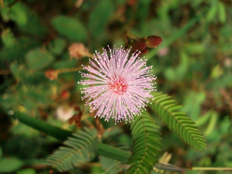 100 Seeds Musschia wollastonii Flower