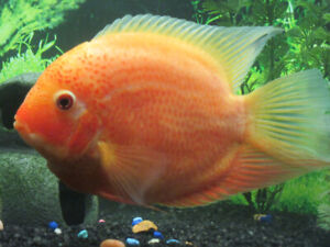 (wanted ) severums, clown loaches, discus, altum angels, plecos