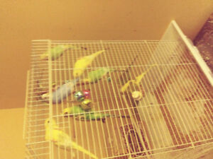 Baby budgies for sale 3-4 mths old