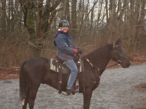 Show quality Morgan gelding offered for sale