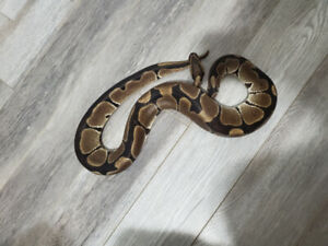 Adult rescued Ball Python 1.0