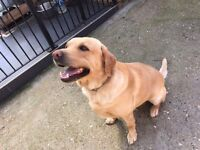 Golden Labrador pedigree 3 years old male, NW4 Hendon